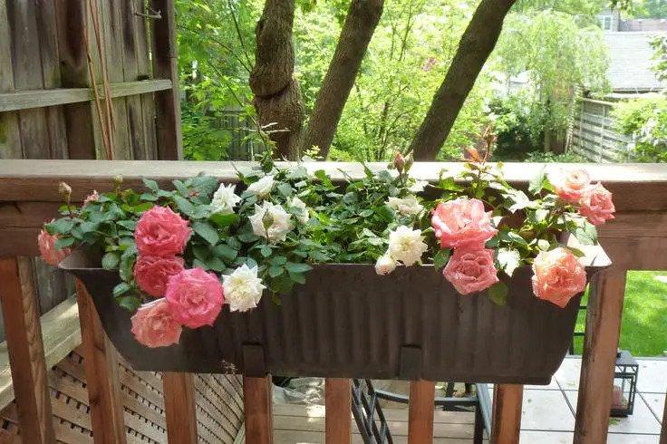 گل رز آپارتمانی