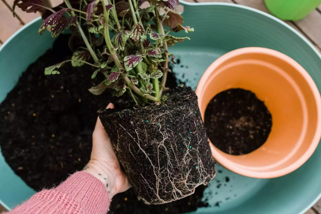 نحوه کاشت گیاه حسن یوسف - سبزآفرین