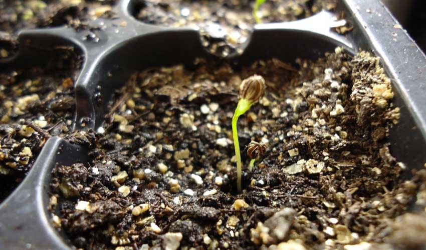 کاشت بذر جعفری در گلدان