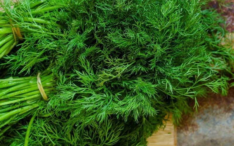 بذر سبزی شوید چیست؟