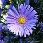 افسانه گل ستاره - سبزآفرین