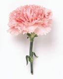 افسانه گل میخک