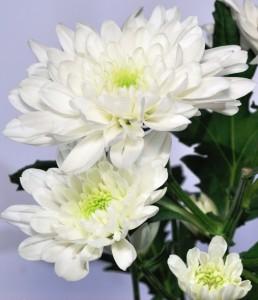 گل داوودی در افسانه ها