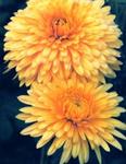 گل داوودی در افسانه ها سبزآفرین